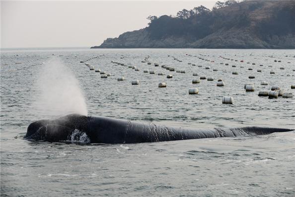 [특명] 긴수염고래 구조하라!!