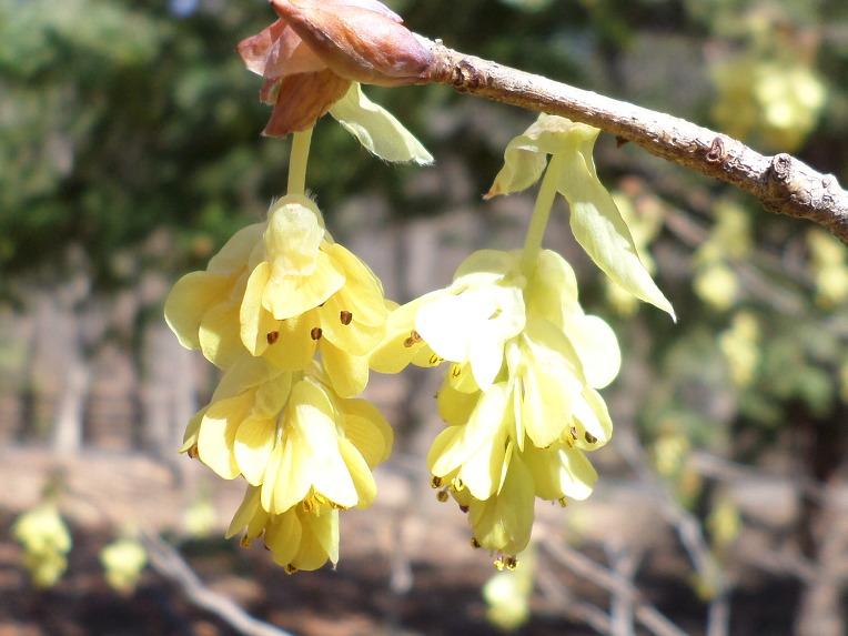 [대구 봄꽃소식] 오한발열에 효능이 있고 한국 원산지 특산식물 환경부 멸종위기 야생식물Ⅱ급, 히어리,꽃,효능 - 신박사.
